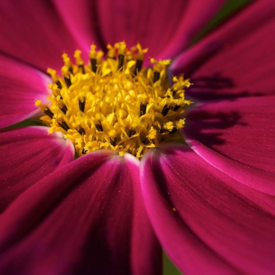pink ki flower Android SmartPhone Wallpaper