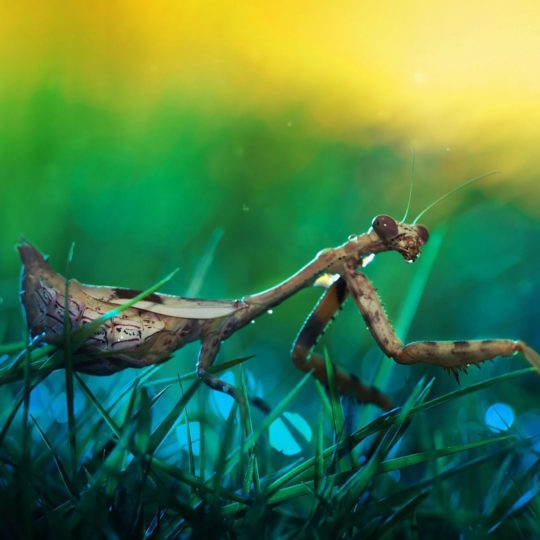 Mantis insect blur Android SmartPhone Wallpaper