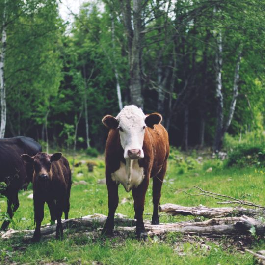 Landscape forest animal cattle Android SmartPhone Wallpaper