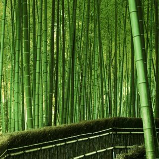 Landscape green bamboo forest