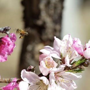 Landscape Sakura bees Apple Watch photo face Wallpaper