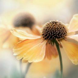 Natural  flower ki iPad / Air / mini / Pro Wallpaper