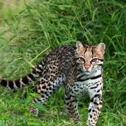 Wild cat iPad / Air / mini / Pro Wallpaper