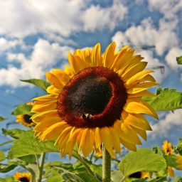 Sunflower sky flower iPad / Air / mini / Pro Wallpaper