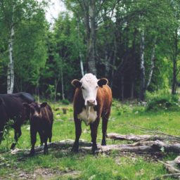 Landscape forest animal cattle iPad / Air / mini / Pro Wallpaper