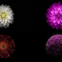 iOS9 flower image black cool iPad / Air / mini / Pro Wallpaper