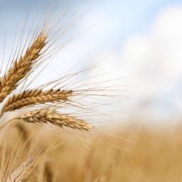 Wheat yellow iPad / Air / mini / Pro Wallpaper