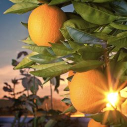 Fruit green landscape orange hood iPad / Air / mini / Pro Wallpaper