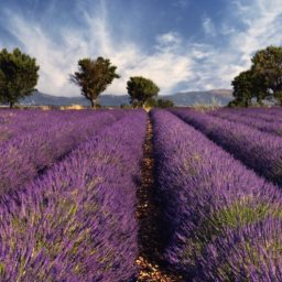Lavender flower landscape iPad / Air / mini / Pro Wallpaper