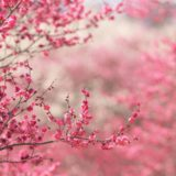 Landscape peach blossom