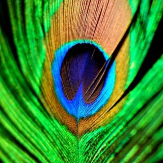 Animal feather green iPhone4s Wallpaper