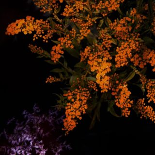 Orange flower cool iOS9 iPhone4s Wallpaper