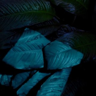 Leaf black cool iOS9 iPhone4s Wallpaper