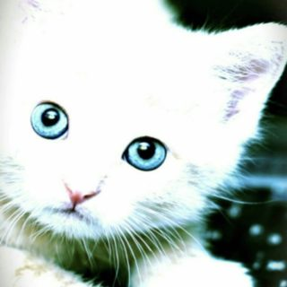 Kitten White Cat iPhone5s / iPhone5c / iPhone5 Wallpaper