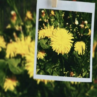 Dandelion photo iPhone5s / iPhone5c / iPhone5 Wallpaper