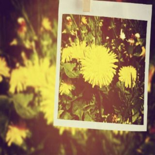 Dandelion picture iPhone5s / iPhone5c / iPhone5 Wallpaper
