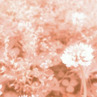 field wild white clover iPhone5s / iPhone5c / iPhone5 Wallpaper