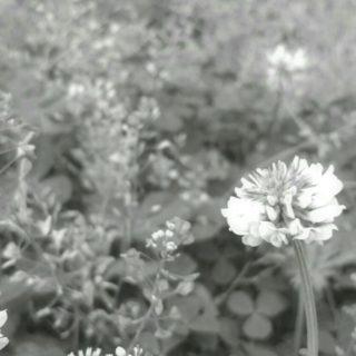 Azalea black and white iPhone5s / iPhone5c / iPhone5 Wallpaper