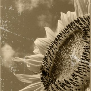 Sunflower black and white iPhone5s / iPhone5c / iPhone5 Wallpaper