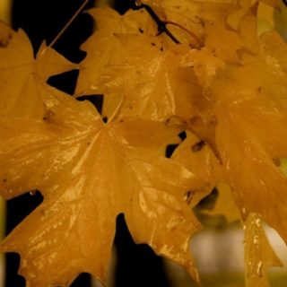 Natural orange autumn leaves iPhone5s / iPhone5c / iPhone5 Wallpaper