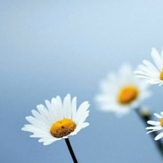 Natural  flower  white iPhone5s / iPhone5c / iPhone5 Wallpaper