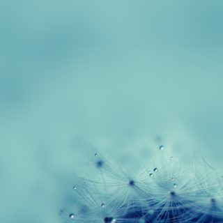 Natural dandelion blue iPhone5s / iPhone5c / iPhone5 Wallpaper