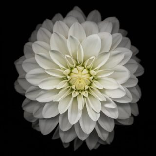 Black-and-white flower iPhone5s / iPhone5c / iPhone5 Wallpaper