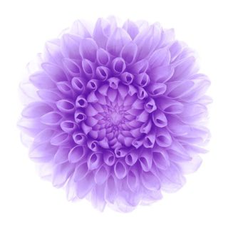 flower  white  purple iPhone5s / iPhone5c / iPhone5 Wallpaper