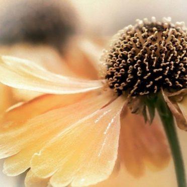 Natural  flower ki iPhone6s / iPhone6 Wallpaper