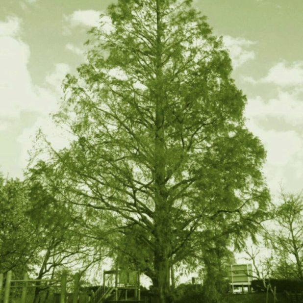 tree park iPhone6s Plus / iPhone6 Plus Wallpaper