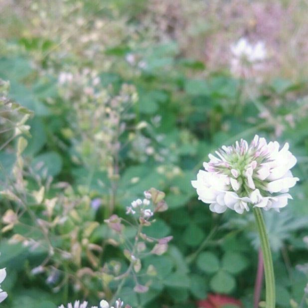 White clover flower iPhone6s Plus / iPhone6 Plus Wallpaper