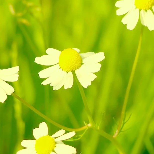Natural  flower  green iPhone6s Plus / iPhone6 Plus Wallpaper