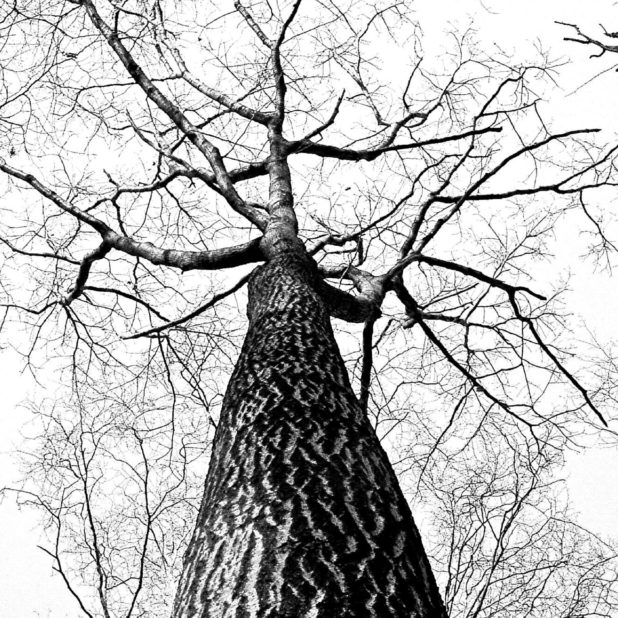 Landscape trees black and white iPhone6s Plus / iPhone6 Plus Wallpaper