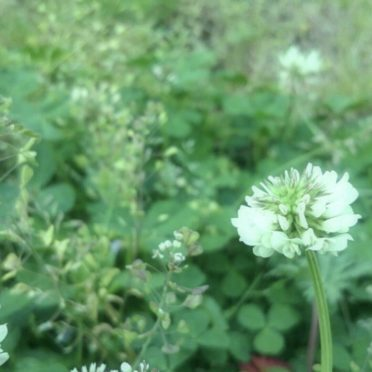 field wild white clover iPhone7 Wallpaper