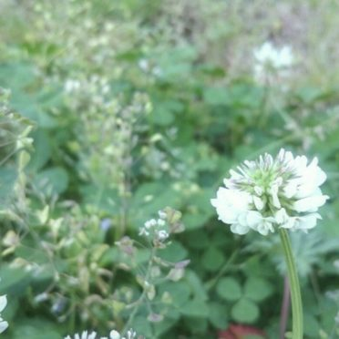 White clover flower iPhone7 Wallpaper
