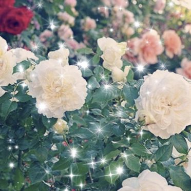 Rose flower garden iPhone7 Wallpaper