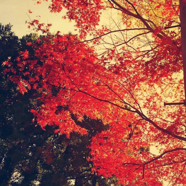 Autumn leaves landscape iPhone7 Plus Wallpaper