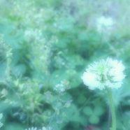 White clover flower iPhone8 Wallpaper