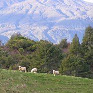 Landscape mountain animal goat iPhone8 Wallpaper