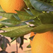 Fruit green landscape orange hood iPhone8 Wallpaper