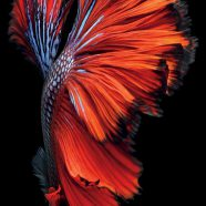 Black Red Fish iPhone6s Cool iPhone8 Wallpaper