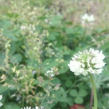 White clover flower iPhone8 Wallpaper