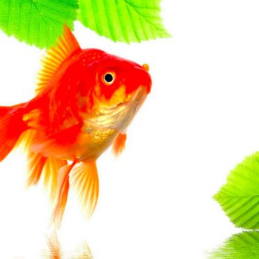 Goldfish green red iPhone8 Wallpaper