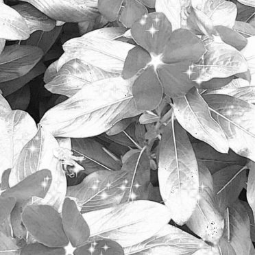 Flower black and white iPhone8 Wallpaper