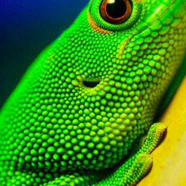 Animal green lizard iPhone8 Wallpaper