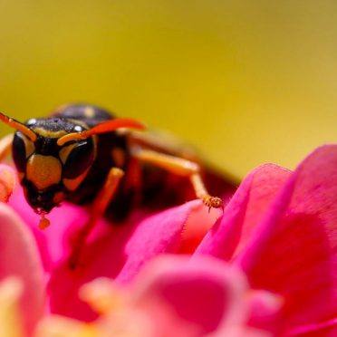 Bee insect blur flower iPhone8 Wallpaper