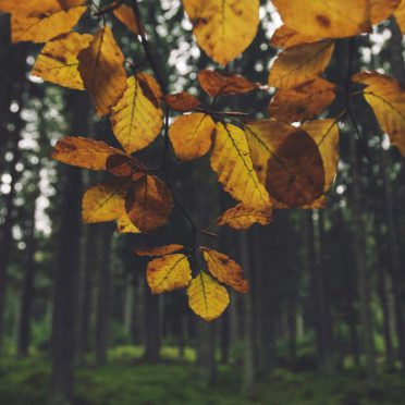 Landscape forest yellow leaf iPhone8 Wallpaper