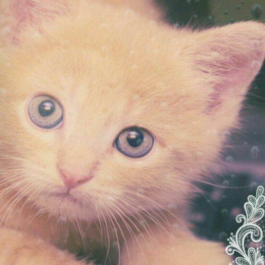 Encaje de gato Fondo de Pantalla SmartPhone para Android