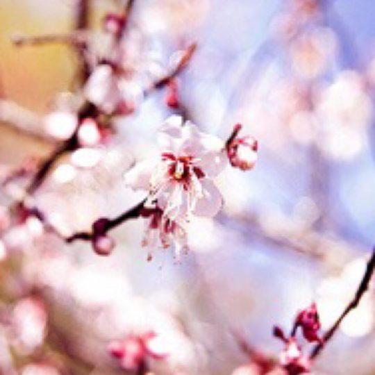 Flor de Cereza Fondo de Pantalla SmartPhone para Android