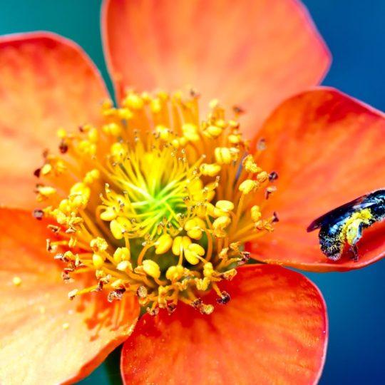 rojo natural de la flor Fondo de Pantalla SmartPhone para Android